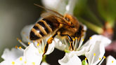 Go to Natural Beekeeping Australia Help the Bees