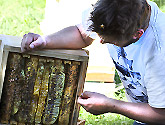 Natural Beekeeping Australia Explaining Natural Comb Building
